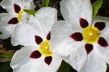 floracion de la jara