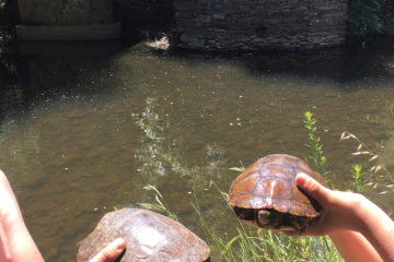 tortugas grandes rio ibor