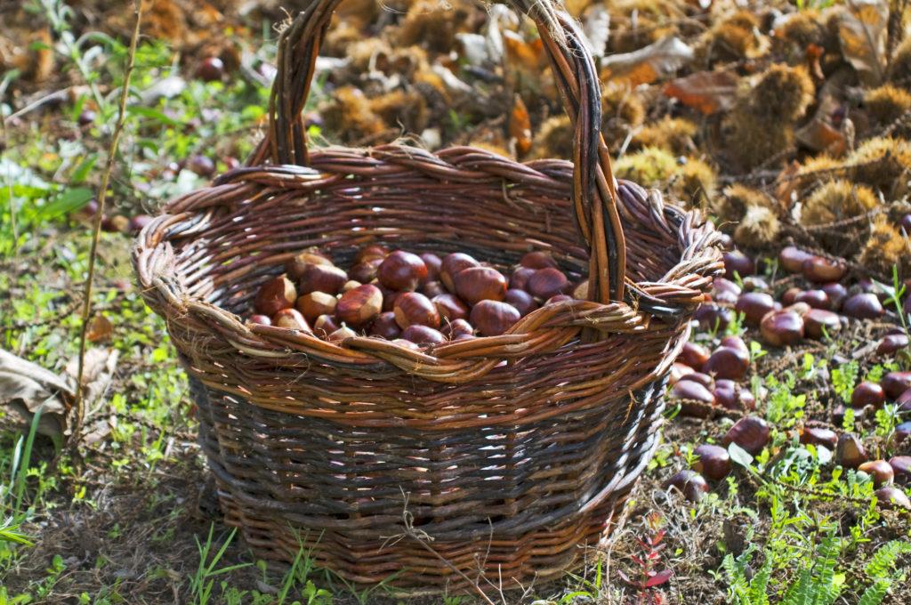 cesta de castañas sierra de fresnedoso de ibor