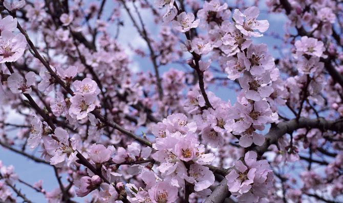 Olivo en floracion
